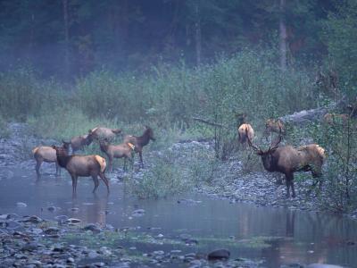 Roosevelt Elk Herd, Olympic National Park, Washington, USA-Steve Kazlowski-Photographic Print