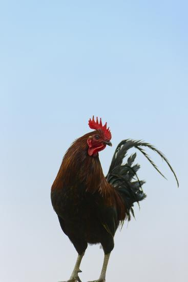 Rooster, Banaue, Ifugao Province, Philippines-Keren Su-Photographic Print