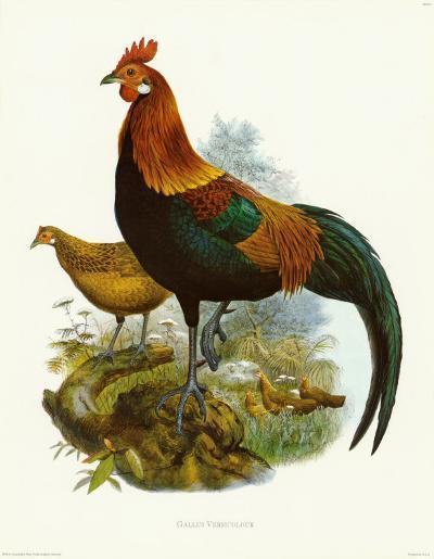 Rooster II-James Elliot-Art Print