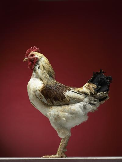 Rooster-Adrianna Williams-Photographic Print