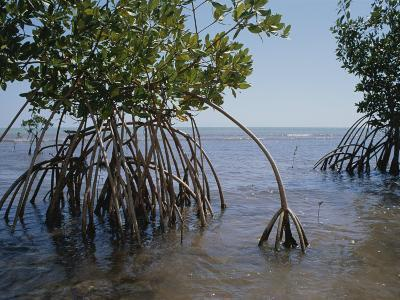 Root Legs of Red Mangroves Extend into Biscayne Bay-Medford Taylor-Photographic Print
