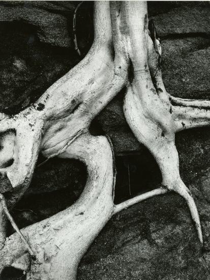 Roots, Baja, California, 1966-Brett Weston-Photographic Print