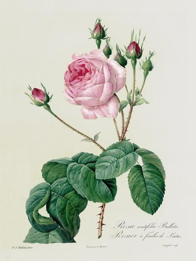 Rosa Centifolia Bullata-Pierre-Joseph Redout?-Giclee Print