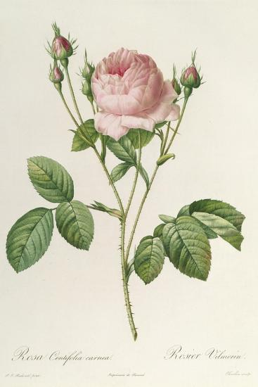Rosa Centifolia Carnea, From'Les Roses', 19th Century-Pierre-Joseph Redout?-Giclee Print