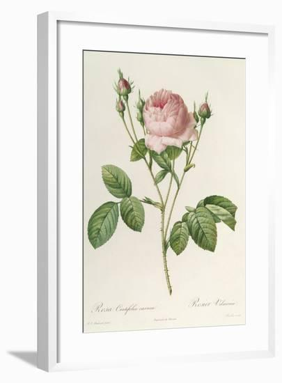 Rosa Centifolia Carnea, From'Les Roses', 19th Century-Pierre-Joseph Redouté-Framed Giclee Print