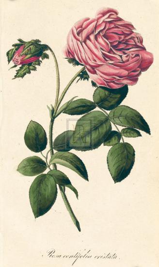 Rosa Centifolia Cristata-A^ Poiteau-Premium Giclee Print