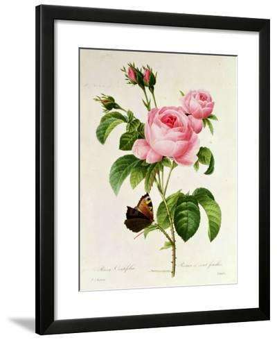 Rosa Centifolia-Pierre-Joseph Redout?-Framed Giclee Print