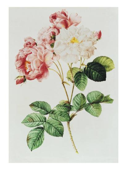 Rosa Damascena Celsiana or Damask Rose, Engraving from Les Roses, 1817-24-Pierre-Joseph Redout?-Giclee Print