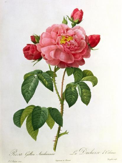 Rosa Gallica Aurelianensis-Pierre-Joseph Redout?-Giclee Print