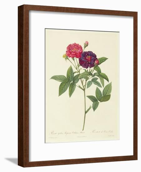 Rosa Gallica Purpurea Velutina, Parva-Pierre-Joseph Redouté-Framed Giclee Print