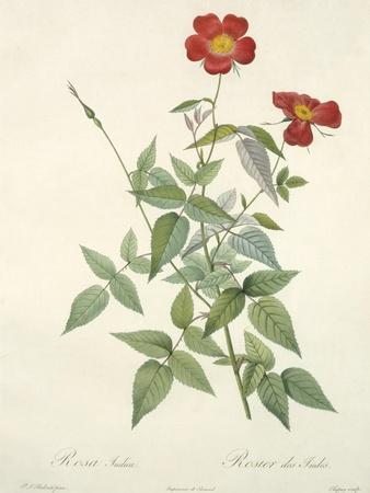 https://imgc.artprintimages.com/img/print/rosa-indica-engraved-by-chapuy-from-les-roses-1817-24_u-l-pldfhc0.jpg?p=0