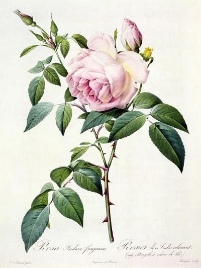 Rosa Indica Fragrans, Engraved by Langlois, Published by Remond-Pierre-Joseph Redout?-Giclee Print