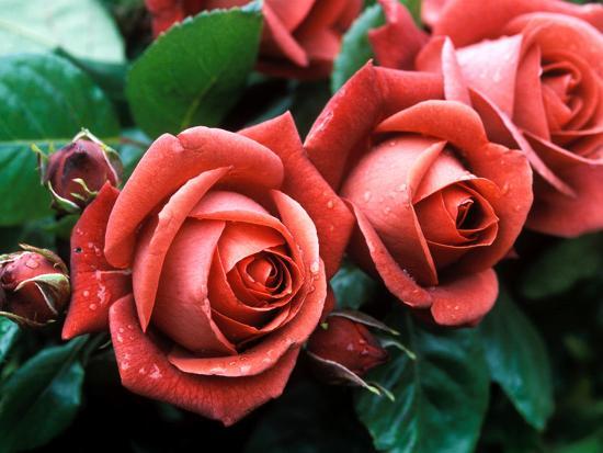 "Rosa ""Meicobuis"" (Rosa ""Terracotta"")-Michele Lamontagne-Photographic Print"
