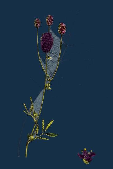 Rosa Mollissima; Soft-Leaved Rose--Giclee Print