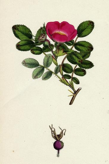 Rosa Mollissima Soft-Leaved Rose--Giclee Print