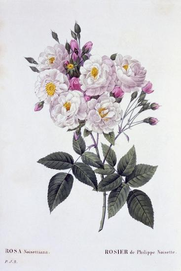 Rosa Noisettiana, Published 1824-26-Pierre Joseph Redoute-Giclee Print