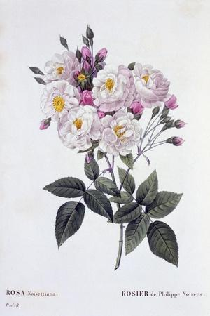 https://imgc.artprintimages.com/img/print/rosa-noisettiana-published-1824-26_u-l-purl0i0.jpg?p=0