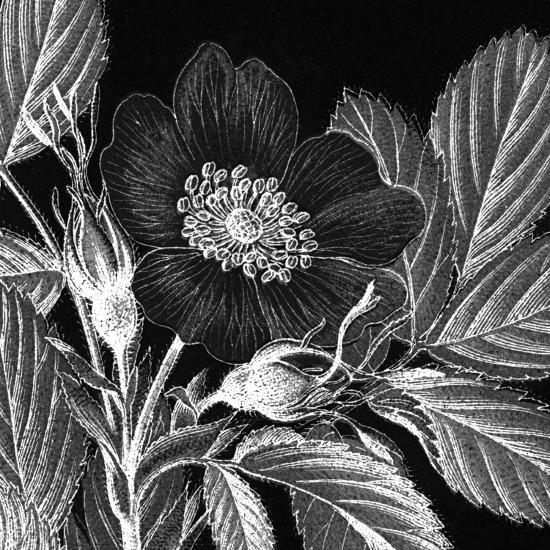 Rosa Pomifera-Thea Schrack-Premium Giclee Print