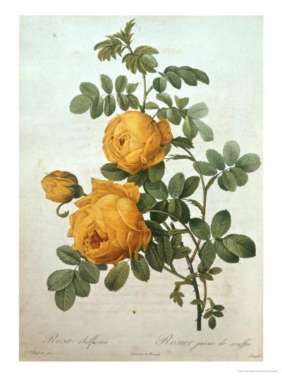 Rosa Sulfurea-Pierre-Joseph Redout?-Giclee Print