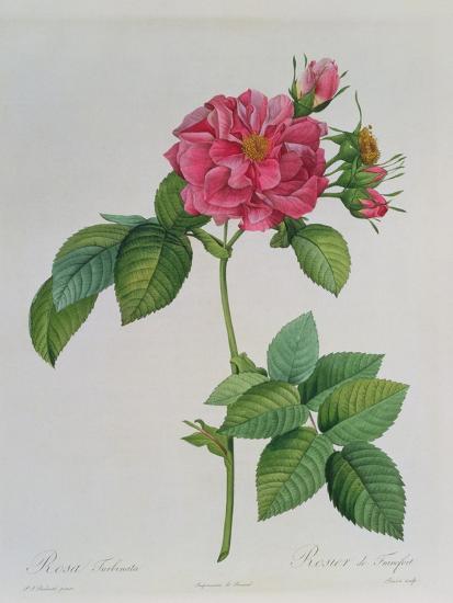 Rosa Turbinata, from Les Roses, Vol 1, 1817-Pierre-Joseph Redout?-Giclee Print