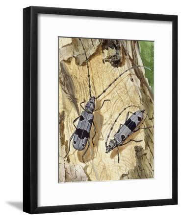 Rosalia Longicorn (Rosalia Alpina), Cerambycidae--Framed Giclee Print