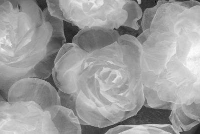 Rosas Blancas-Moises Levy-Photographic Print