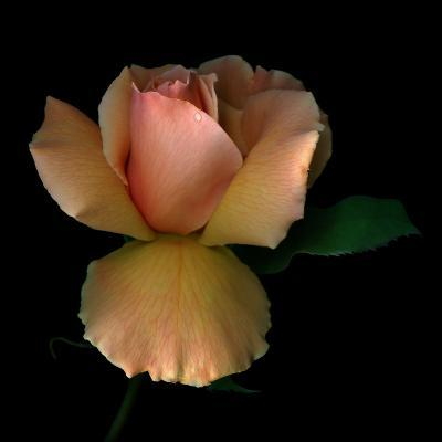 Rose 2-Magda Indigo-Photographic Print