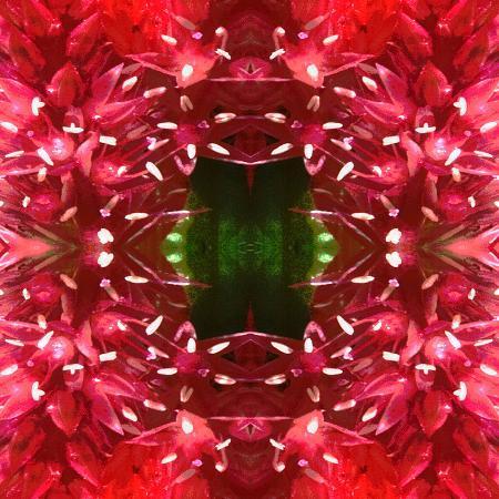 rose-anne-colavito-celosia