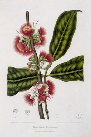 https://imgc.artprintimages.com/img/print/rose-apple_u-l-q1bvkvb0.jpg?p=0
