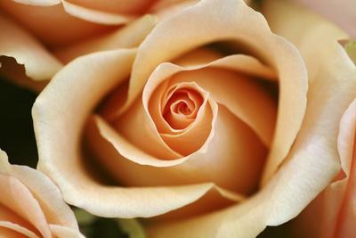 https://imgc.artprintimages.com/img/print/rose-blossom-rose_u-l-q11vc9t0.jpg?p=0