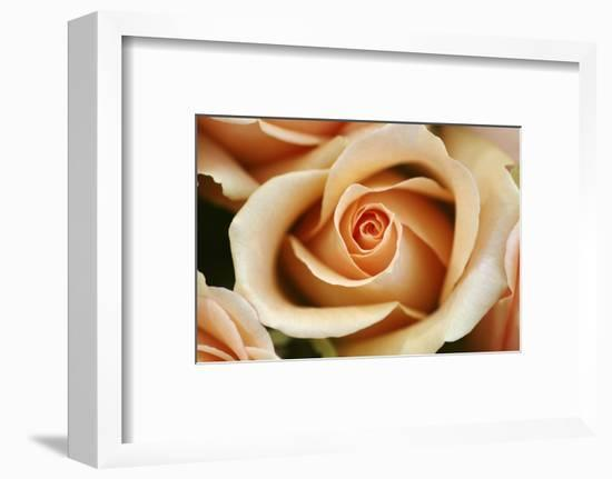 Rose Blossom, Rose-Sweet Ink-Framed Photographic Print