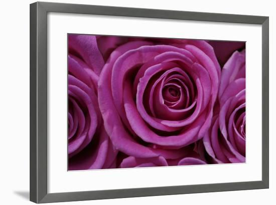 Rose Blossom, Rose-Sweet Ink-Framed Premium Photographic Print