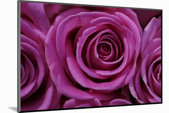 Rose Blossom, Rose-Sweet Ink-Mounted Photographic Print