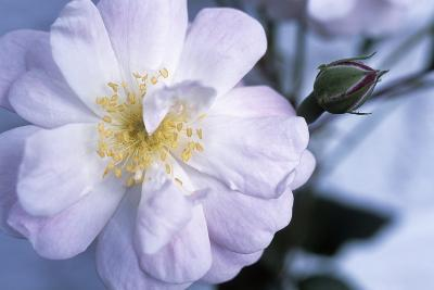 Rose 'Blush Noisette'-Maxine Adcock-Photographic Print