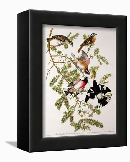 "Rose-Breasted Grosbeak from ""Birds of America""-John James Audubon-Framed Premier Image Canvas"