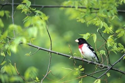 Rose-Breasted Grosbeak Male in Common Hackberry Tree, Marion, Il-Richard and Susan Day-Photographic Print
