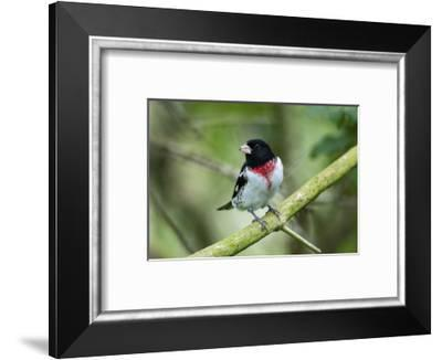 Rose-breasted grosbeak (Pheucticus ludovicianus) perched.-Larry Ditto-Framed Photographic Print