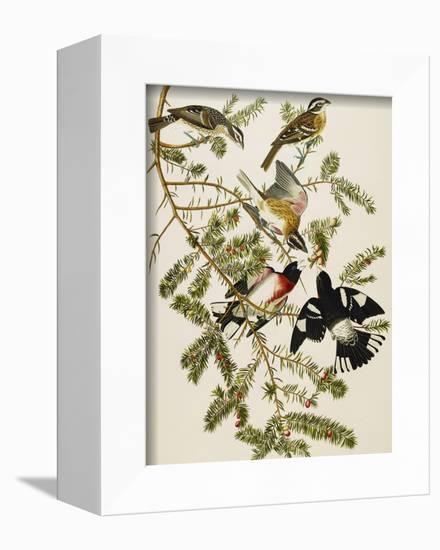 Rose-Breasted Grosbeak (Pheuticus Ludovicianus), Plate Cxxvii, from 'The Birds of America'-John James Audubon-Framed Premier Image Canvas