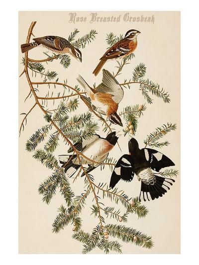 Rose Breasted Grosbeak-John James Audubon-Art Print