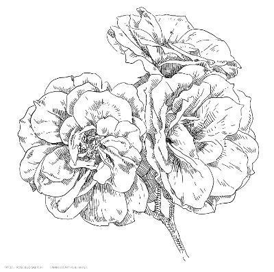Rose Bud Sketch--Art Print