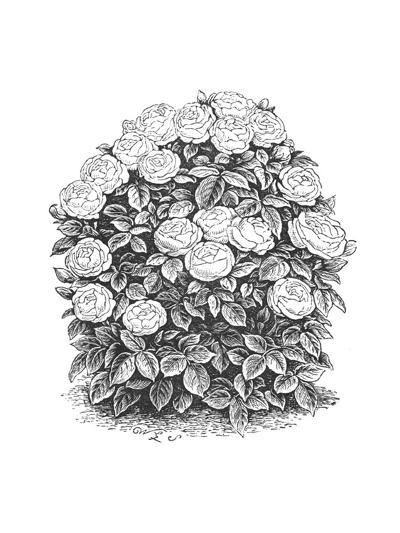 Rose Bush Illustration--Art Print