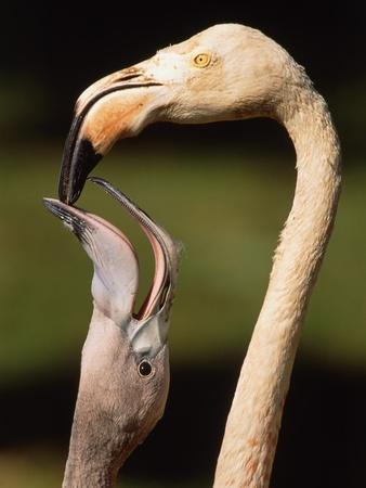 https://imgc.artprintimages.com/img/print/rose-coloured-flamingo-feeding-fledgling_u-l-pzkpx70.jpg?p=0