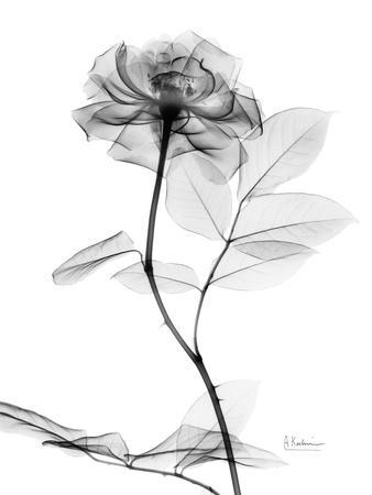 https://imgc.artprintimages.com/img/print/rose-gray-a_u-l-pyjp6f0.jpg?p=0
