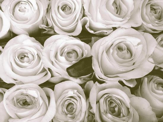 Rose in Bloom-Gail Peck-Art Print