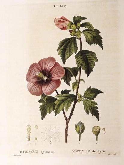 Rose of Sharon (Hibiscus Syriacus)--Giclee Print