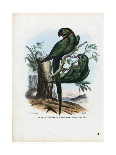 Rose-Ringed Parekeet, 1863-79-Raimundo Petraroja-Giclee Print