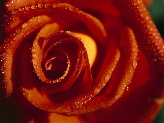 Rose (Rosaceae Sp) Close-Up of Flower with Water Droplets, Germany-Konrad Wothe-Photographic Print