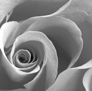 Beautiful Roses Black And White Photography Artwork For Sale