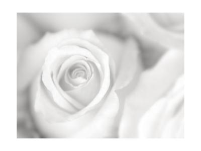 Rose Studies II-James McLoughlin-Photographic Print