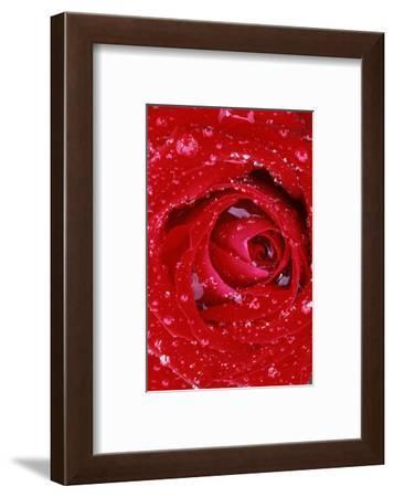 Rose with Raindrops, Manito Park, Spokane County, Washington, USA-Charles Gurche-Framed Photographic Print